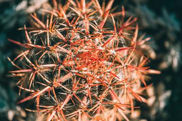 cactus with red burbs. closeup