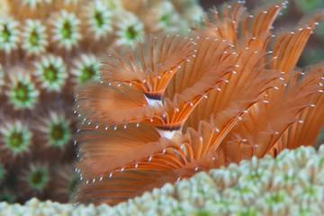 Christmas Tree Worm (Spirobranchus giganteus), Reefs of Bonaire