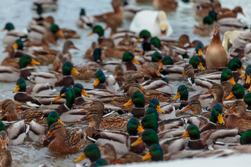 Ducks on a lake. Large flock of ducks swim in the freezing lake.