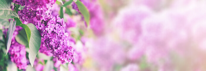 Spoed Fotobehang Lilac purple lilac bush blossom with copy space