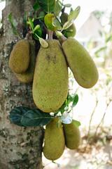 Jack fruits in Uganda, Africa