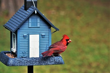 A single male cardinal bird is perching on the beautiful blue feeder enjoy eating and watching  on soft focus garden background, Autumn in Georgia USA.