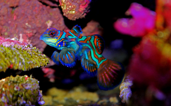 Mandarin fish (Synchiropus splendidus)