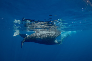 Family of spermwhales underwater, ocean blue background