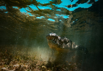 Poster de jardin Crocodile Saltwater crocodile predator hiding in muddy water underwater shot