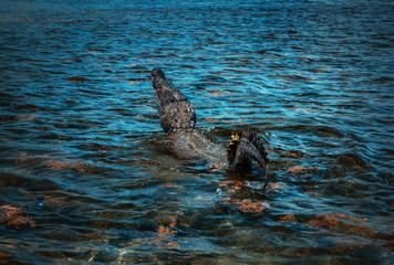 Saltwater crocodile closeup shot