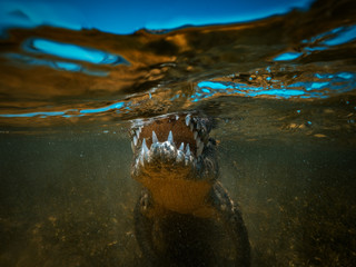 Saltwater crocodile Jaws and teeth closeup underwater shot