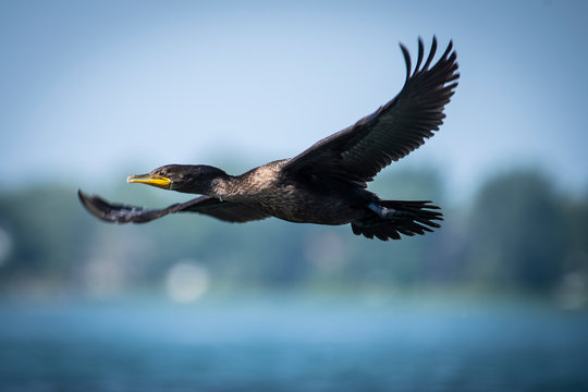 Double-crested Cormorant flying near an island of the St-Lawrence River