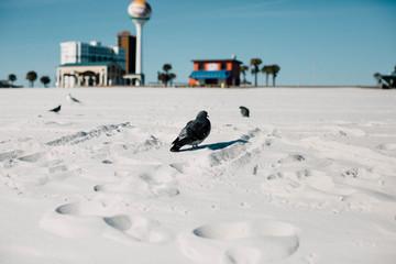 Pigeon On The Beach.