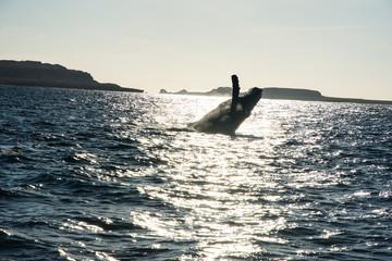 Humpback whale cavorting in Bucerias Bay near Punta Mita, Nayarit, Mexico