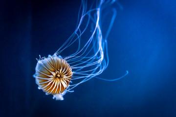Chrysaora fuscescens Orange jellyfish also  Pacific sea nettle