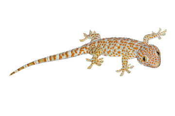 Gecko isolate on white background.