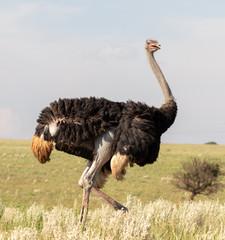 Poster Autruche Large male ostrich