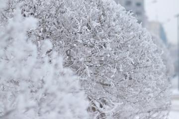 trimmed bushes under snow