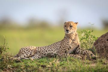 Lazy Cheetah at Maasai Mara Conservancy, Kenya
