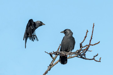 Two jackdaws sit on a branch against a blue sky