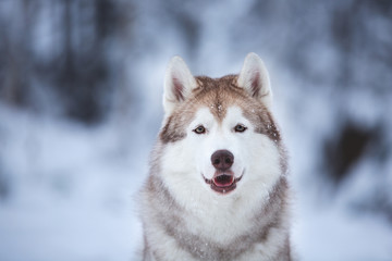 Close-up portrait of beautiful and free beige dog breed siberian husky sitting on the snow in the fairy winter forest