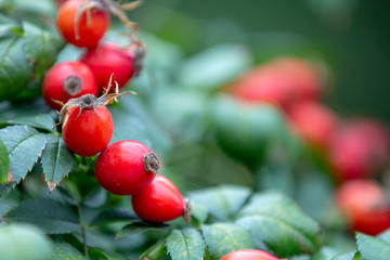 Red rosehip berries on a branch. In the garden in early autumn