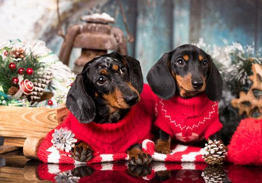 Puppy dachshund, New Year's puppy, Christmas dog