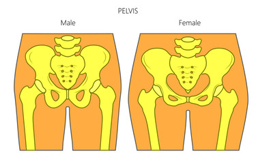 Vector illustration of a human pelvis. Difference in anatomy of male and female pelvis. Front view of pelvis. For advertising and medical publications