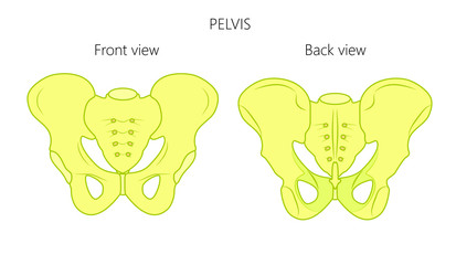 Vector illustration anatomy of a human pelvis. Front and back view of pelvis. For advertising and medical publications