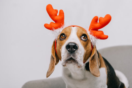 beagle dog wearing reindeer antlers isolated on grey