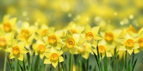 Poster Narcis osterglocken im frühling panorama
