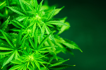 Marijuana leaves. Marihuana plants close up. Green background. Cannabis flowers. Growing indoor cultivation. Planting weed. Top view. Medical cannabis and legalization of marijuana.