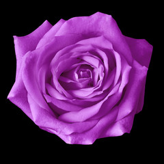 amethyst rose flower isolated on a black background. Closeup. Nature.