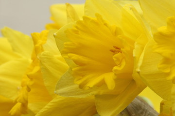Obraz A close up photograph of a daffodil head, national flower of Wales, St David's Day - fototapety do salonu
