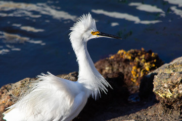 egret with ruffled plumage standing near rocks in a bay