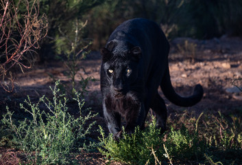 Black leopard, sometimes mistaken for a black panther, stalking in the grass Wall mural