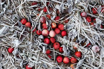 Im Winter leuchten rote Äpfel auf einer Wiese mit Eis und Raureif unter weißen gefrorenen Blättern als Symbol für Alt und Neu