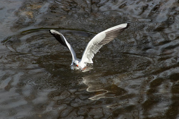 a black headed gull with its wings spread out in the middle of the reflections in the water