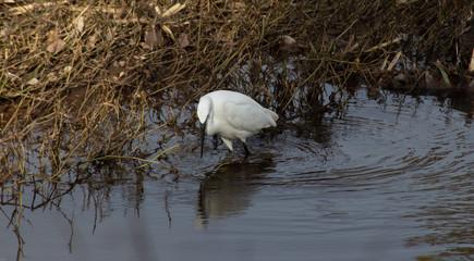 Little egret (egretta garzetta) looking for food in water