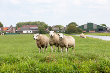 3 white sheeps in a grass pasture in Oud ade.