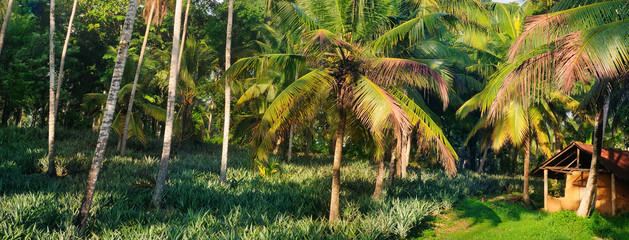 Tropical garden with coconut palms and a pineapple plantation. Shri Laka. Wide photo.