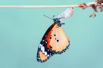Printed roller blinds Butterfly Amazing moment ,Monarch butterfly emerging from its chrysalis