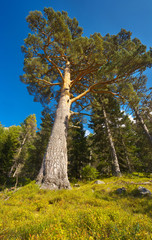 View up to the old pine tree with a massiv trunk in the forest, Pyrenees Occidentales, France