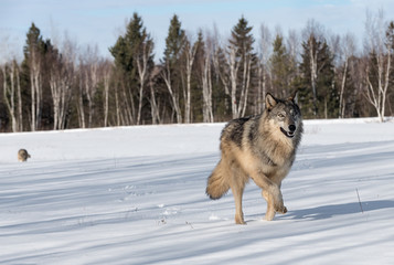 Fototapete - Grey Wolf (Canis lupus) Runs Right Another Wolf in Background Winter