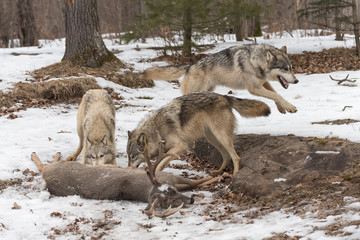 Wall Mural - Grey Wolf (Canis lupus) Leaps Right Behind Two at Deer Carcass Winter