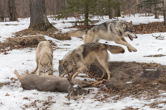 Grey Wolf (Canis lupus) Leaps Right Behind Two at Deer Carcass Winter