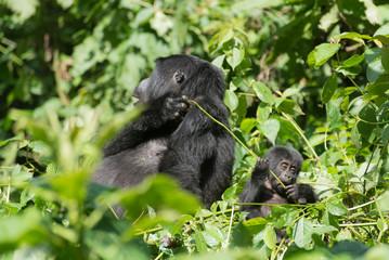 weiblicher Berggorilla im Dschnugel von Sumatra