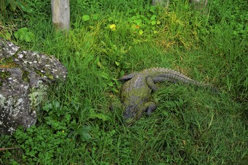 Alligator hiding in the grass at Auckland zoo in New Zealand