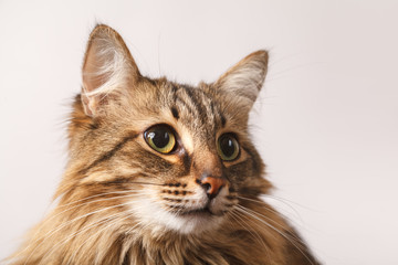 Portrait of a striped fluffy cat. Grey cat striped cute sweet on light background close up