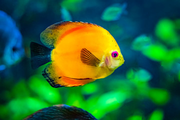 Symphysodon, known as discus, is a genus of cichlids native to the Amazon river basin in South America. It is  orange fish with black fin. Background is green.