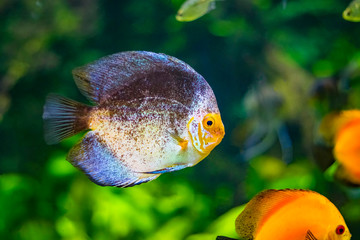 Symphysodon, known as discus, is a genus of cichlids native to the Amazon river basin in South America. The fish has grey an yellow color. Background is green.
