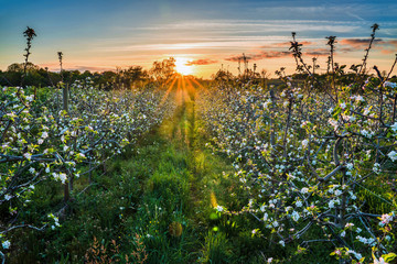 Sunset on a field of apple trees in bloom