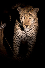 Wall Murals Panther Portrait of huge male leopard staring intently at the viewer.