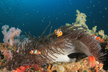 Clown Anemonefish fish on coral reef